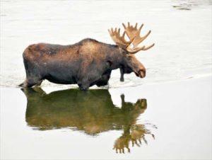 bull-moose