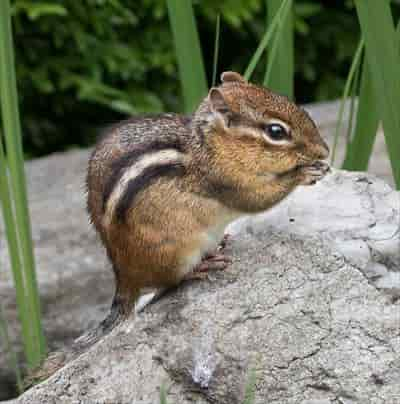 Eastern chipmunk in New York Botanical Garden,June 2018,by Rhododendrites