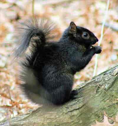A black Squirrel.