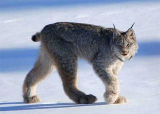 カナダ 動物