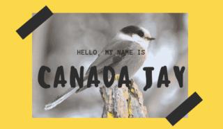 Canada Jay (1)-min