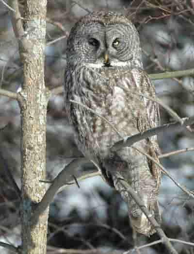 カナダ 野鳥 フクロウ