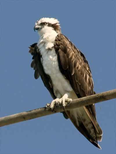カナダ 野鳥 オスプレー
